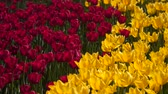 tallo : Glade of red and yellow tulips.
