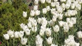 tallo : Glade of white tulips. Spring flowers