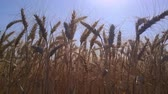 sheaf of barley : Field golden ears of wheat. Symbol of harvest, healthy food and prosperity
