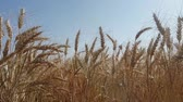 spikelet : Big Field golden ears of wheat. Symbol of harvest, healthy food and prosperity Stock Footage