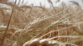 spikelet : Big golden wheat ears ripened in a large field. Symbol of harvest, healthy food and prosperity Stock Footage
