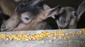 hejno : Goats eat corn