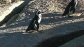 african penguin : 1385 Penguin Jumping over Rocks by Ocean in Cape Town Africa.mov