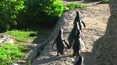 african penguin : 1386 Penguin Walking in Line on Rocks by Ocean in Cape Town Africa.mov