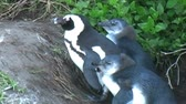 african penguin : 1388 Penguin on Rocks by Ocean in Cape Town Africa.mov