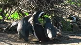 african penguin : 1391 Mother Penguin Feeding Her Young by Ocean in Cape Town Africa.mov