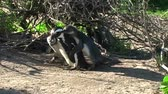 african penguin : 1393 Mother Penguin Feeding Her Young by Ocean in Cape Town Africa 3.mov