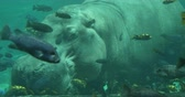 mroczne : Hippopotamus Under the Water with Fish Swimming, 4K Wideo