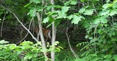 2007 Deer Climbing up Hill in Woods, 4K.mov