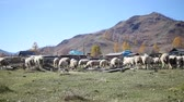 ovelha : A flock of sheep grazing in the Altai Mountains