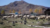 A flock of sheep grazing in the Altai Mountains