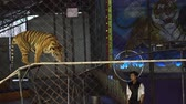 giocoliere : CHONBURI, THAILAND-MAY 22,2019: Behind netting, Bengal Tiger walking on the tightrope at a circus in Thailand. Performing Bengal Tiger is the biggest and extremely rare. The wildlife tourism industry.