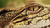 領土 : Close up of the eye Siamese freshwater crocodile. Amazing animal planet in Thailand. 動画素材