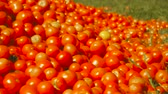 fresh tomato harvest. many red tomatoes Wideo