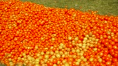 podre : Red tomatoes lie on the ground in green grass
