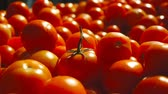 podre : fresh tomato harvest. many red tomatoes Stock Footage