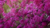 blooming : Pink tree in daylight, branches of spring flowering tree, fruit tree, slow motion
