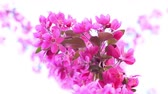 pêssego : Pink tree in daylight, branches of spring flowering tree, fruit tree, slow motion