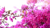 brzoskwinia : Pink tree in daylight, branches of spring flowering tree, fruit tree, slow motion