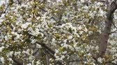 marchs financiers : Falling petals of flowers in a cherry garden, spring wind. Clouds moving in sky Stock Footage