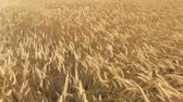 summer : Rye Agriculture field - harvest time