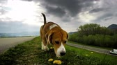 smell : Purebred British beagle shiffing for prey while walking without a lead  High Definition Video : 29.97 FPS  16sec Please look another footages on my TrainArrival Account.  Best Wishes.