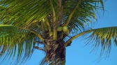krajobraz : Leaves of coconut palms fluttering in the wind against blue sky. Bottom view. Bright sunny day. Riviera Maya Mexico.