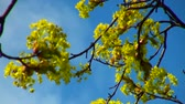 blossom : Linden flowers in the sky. Stock Footage