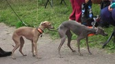 greyhound : Italian Greyhound. Breed greyhounds. Shot in 4K (ultra-high definition (UHD)), so you can easily crop, rotate and zoom, without losing quality!  Real time.