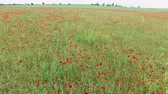 blossom : Field with poppies Stock Footage