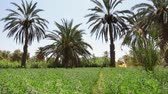 Ürdün : date palms shooting from lower angle. Full HD