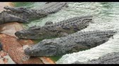nilo : a group of large crocodiles resting on the shore . UltraHD Stock Footage