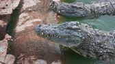 nilo : The crocodile is opening its mouth at the crocodile farm in Tunisia. Amphibian fierce eyes In water. UltraHD