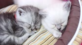 devanear : Cute tabby and white kittens sleeping and daydreaming for licking its paws in a basket bed