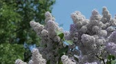 аромат : Lilacs flowering, blooming. Flowers of lilac on the wind against blue sky.