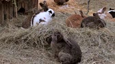 zając : Rabbits in an outdoor enclosure, rabbit hutch Wideo