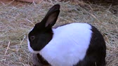 zając : Rabbit in an outdoor enclosure, rabbit hutch Wideo