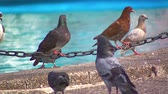 pomba : Pigeons on a Metal Chain Next to a Fountain