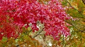 ahornbaum : 4K Colorful Autumn maple leaves
