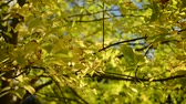 どんよりした : Yellow ash tree leaves swaying in the wind
