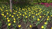 flower growing sun : Beautiful spring park covered with fresh flowers yellow tulips. Close up. Full hd video, 1080p, Panoramic view