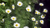 fitoterapia : Pharmaceutical camomile. Chamomile, scented mayweed, blooming in field edge. Extracts of scented mayweed have been used in the pharmaceutical
