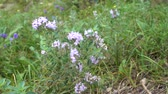 thyme : Breckland thyme in the field. 4k Real time uhd video
