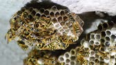 hornets : Wasp nest with wasps sitting on it. Wasps polist. The nest of a family of wasps which is taken a close-up.