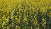 масличные культуры : Flowering rape in the field. Yellow rape flowers in the field. Cedar rape crop.