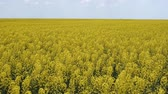 hozam : Flowering rape in the field. Yellow rape flowers in the field. Cedar rape crop.