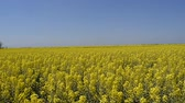 масличные культуры : Rapeseed field. Yellow rape flowers, field landscape. Blue sky and rape on the field Стоковые видеозаписи