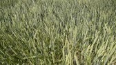 junho : Winds of wheat spikes. Spikelets of green wheat. Ripening wheat in the field. Winds of wheat spikes Vídeos