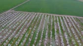 goździk : Blossoming young plum garden, top view. Span of the drone over the plum blooming garden Wideo