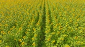 Field of sunflowers. Aerial view of agricultural fields flowering oilseed. Top view. Vídeos